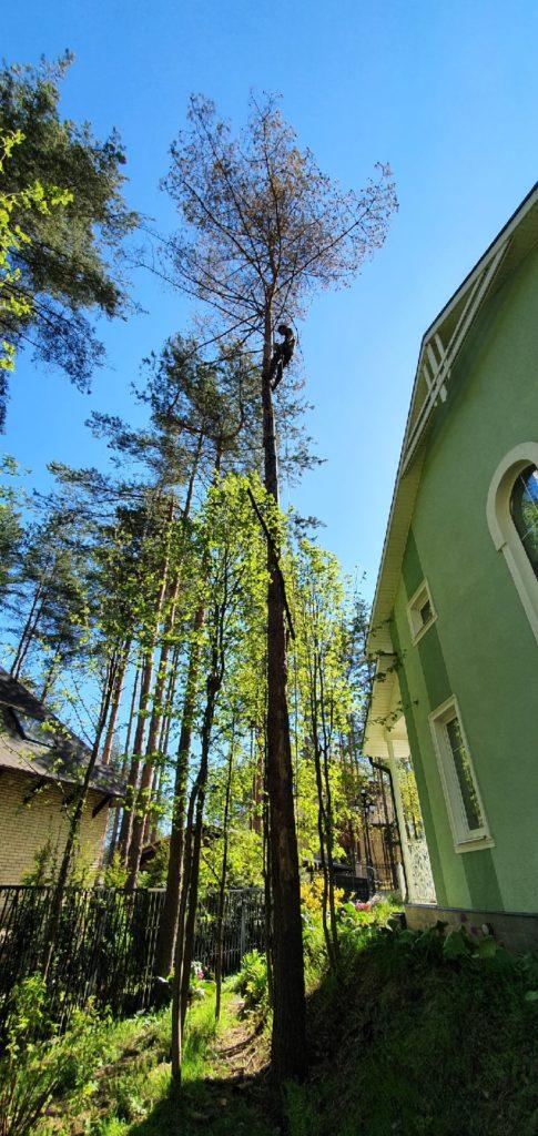 Валка деревьев частями во всеволожске