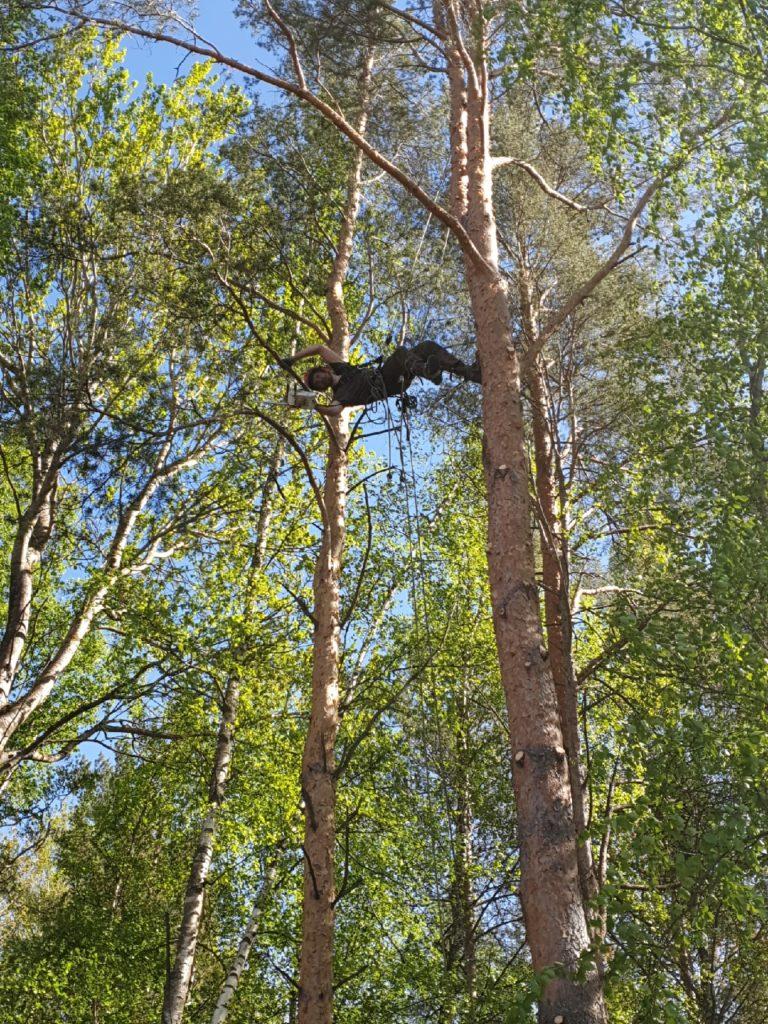 Валка деревьев на садовом участке
